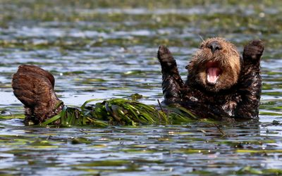 "<strong>Highly Commended: ""Cheering-Sea-Otter"" by Penny Palmer</strong>"