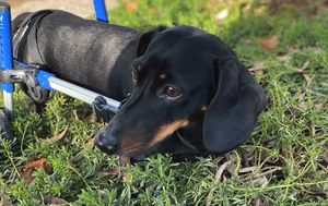 Dachshund with tiny wheelchair looking for new home