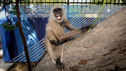 In another incident, a man was also pelted with bricks from a dilapidated building by a monkey that killed him.