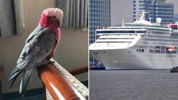 Pet galah gets own cabin after stowing away on cruise ship
