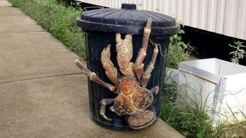 Coconut crabs are the largest land crab in the world. The bodies of Earhart and Noonan may have been eaten by the scavenging coconut crabs, according to one theory.
