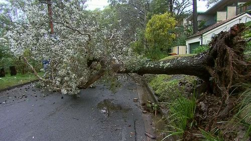 Tree down at Lane Cove, in Sydney's north.