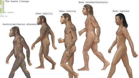 New research about homo erectus suggest the primitive species of human went extinct because they were lazy.
