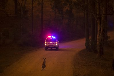 A wallaby stops on the road after escaping from the Liberation Trail fire outside Nana Glen.