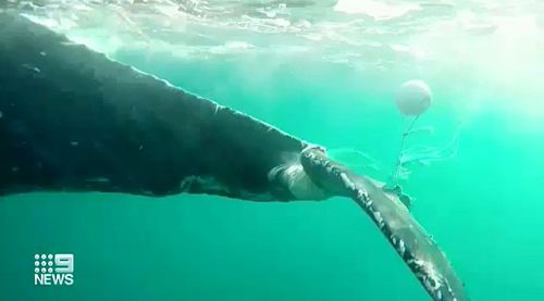 Originally found in distress this morning just off the Broadbeach surf, the young calf was spotted dragging a long fish net believed to have been picked up around Tasmania or Victoria.
