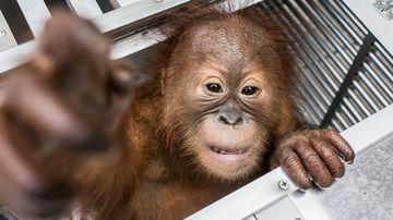 Man tried to smuggle orangutan out of Bali
