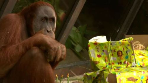 Melbourne Zoo's young orangutan blows out thirteen candles