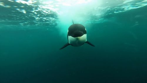 A pair of male orcas moved into great white territory at Gaans Baai. Picture: 9NEWS