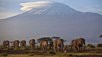 A herd of elephants in southern Kenya, just across the border from Tanzania's Mount Kilimanjaro. (AAP)