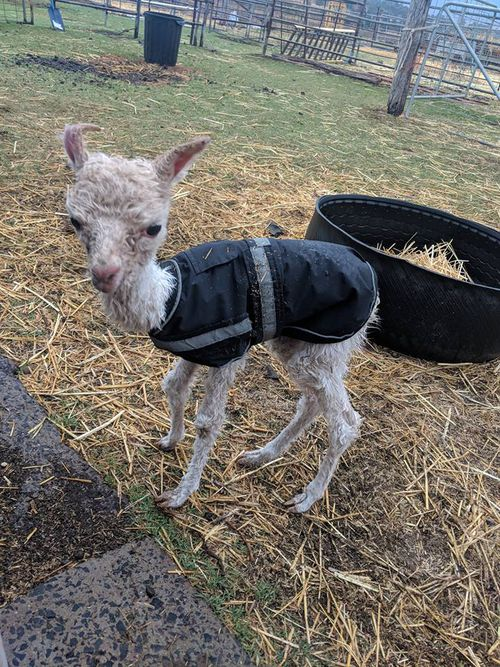 A five-day-old alpaca in Queensland got a soaking for the first time in Oakey near Toowoomba according to owner Krystle Lindsay.