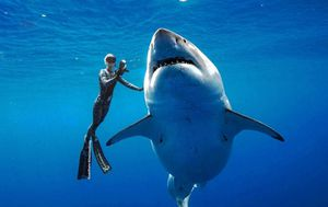 Great white sharks are bottom-feeders as juveniles, Australian study finds