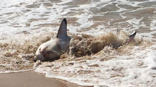 What caused the great white to beach itself remains unknown. (Via Donna Holland)