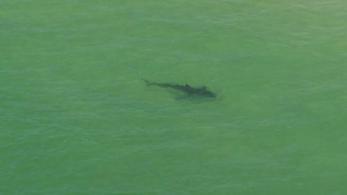 The shark was followed by the 9NEWS chopper along the beach. (9NEWS)