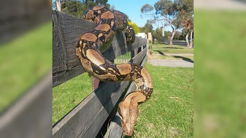 Boa constrictor found in disused Melbourne building to be euthanased
