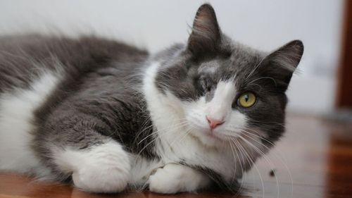 Marcello the cat is looking for a new home, three months after being violently thrown over a fence and into a wall in Queensland. Picture: RSPCA.