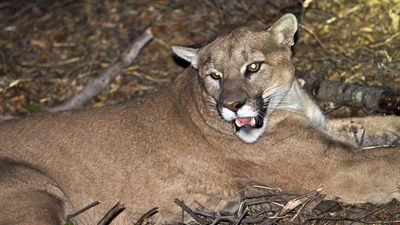 One cyclist killed in cougar attack near Seattle, another injured