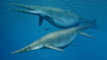 Reconstruction of the Shonisaurus, a giant ichthyosaur.