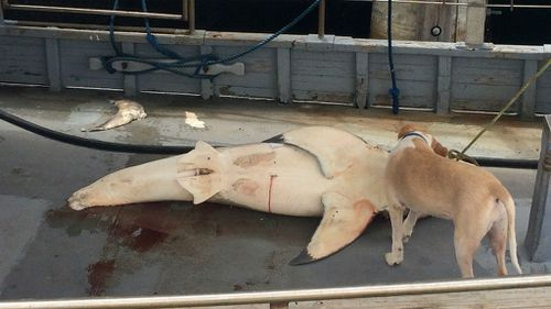 A small crowd gathered around the shark after it was pulled onto the deck of a trawler. (AAP)