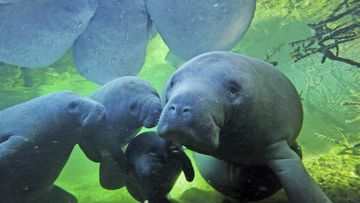 Manatees with their calves swimming  at at Blue Spring State Park in Orange City, Florida.