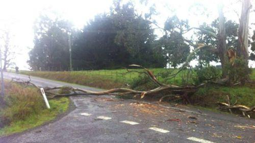 Wild weather brings tree down across main road in Sheffield, Tasmania. (Photo: Talia Paz)