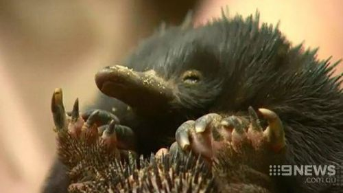 Pair charged over late-night abduction of 'Piggie' the echidna
