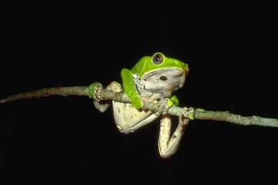 <strong>Giant leaf tree frog</strong>