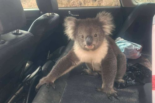 The koala caused damage to the car