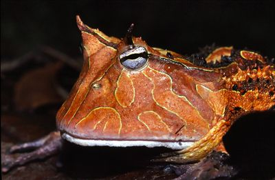 <strong>Pacman frogs</strong>