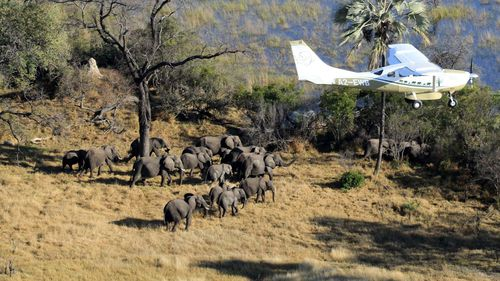 Scientists with Great Elephant Census fly over Botswana, Africa during a survey of savanna elephants on the continent
