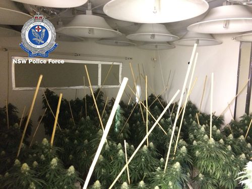 Police found more than 2200 cannabis plants in the raided properties. Picture: NSW Police
