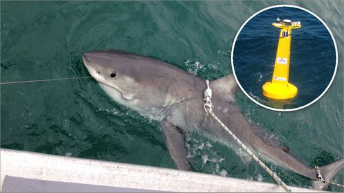 Great white sharks tracked travelling close to popular NSW beaches, new data reveals