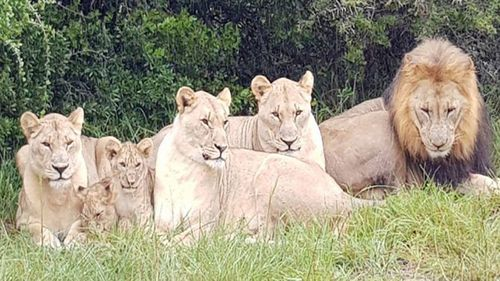 Suspected poachers have been eaten by a pride of lions in South Africa.