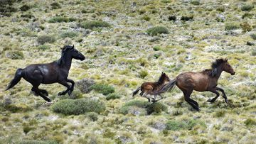 Wild horses, also called brumbies, flee from a helicopter in Mount Kosciuszko National Park