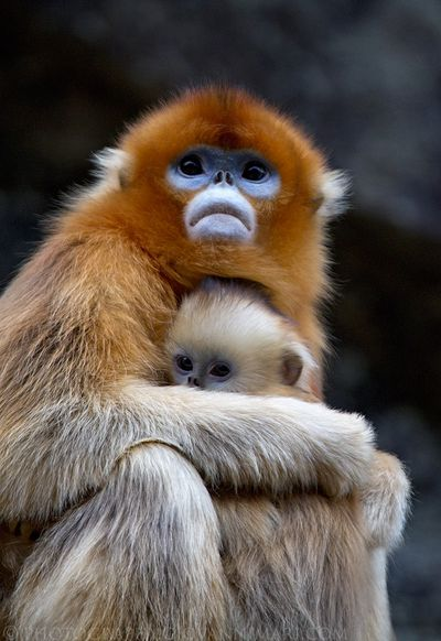 <strong>Golden snub-nosed monkey</strong>