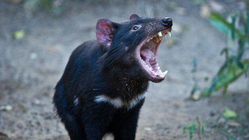 Tasmanian devils have been an endangered species since 2008. (AAP)