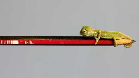 Baby chameleon on pencil