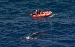 Rescue operation underway to free whale trapped in shark nets off Sydney coast