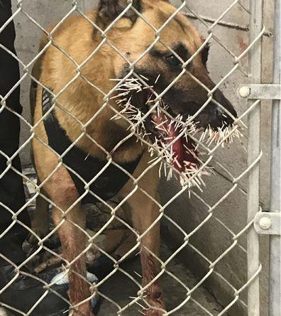 190424 USA viral news Police dog porcupine spikes pursuit