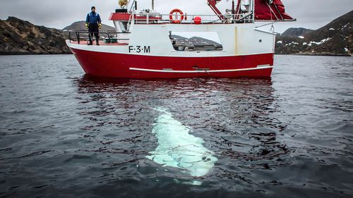Whale Russia Norway