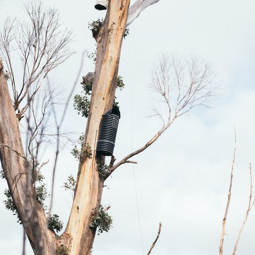 There are signs of hope for one of Australia's rarest black cockatoo species.