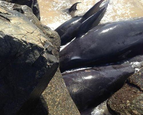 Close to 20 whales stranded against breakwater wall in Western Australia