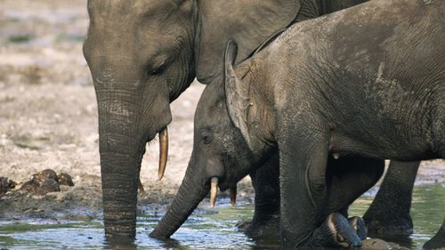 Elephant poaching 'industrialised' with 22 killed in two weeks in Mozambique