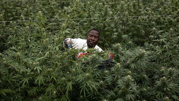 Cannabis is grown for export to Europe in a greenhouse in Uganda.