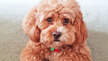 Cavoodle Millie is now overdue on her haircut at Netz Pampered Pets.