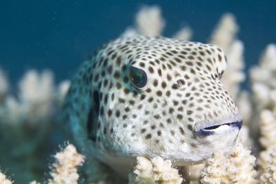 <strong>Puffer fish</strong>