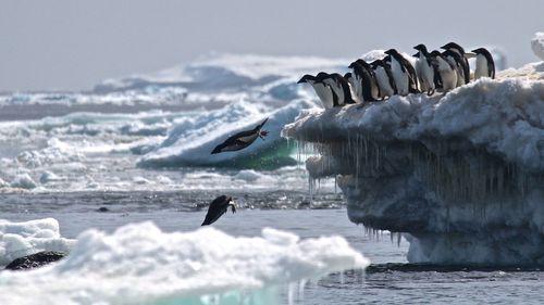 Adélie penguins jumping of iceberg. (Stony Brook University, Louisiana State University, Courtesy Rachael Herman.)