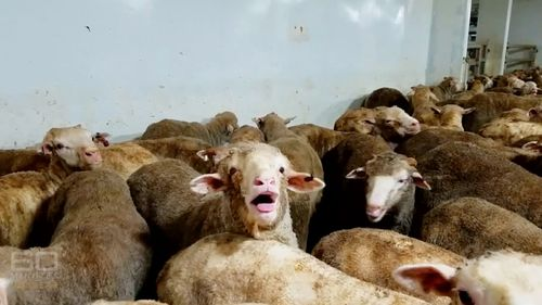 The 60 Minutes episode exposed the shocking treatment of sheep on board the Awassi Express. (60 Minutes)