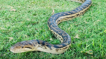 Scrub pythons start breeding from late July and because they are urbanised well, they are comfortable moving into people's homes to do their business.