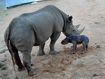 Taronga's Black Rhino crash welcomes baby girl