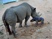 Taronga's Black Rhino crash welcomes baby girl